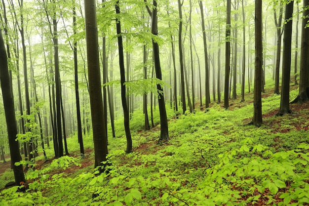 Wiosenny las bukowy we mgle