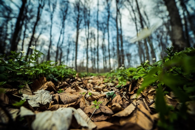Wiosenny las bukowy