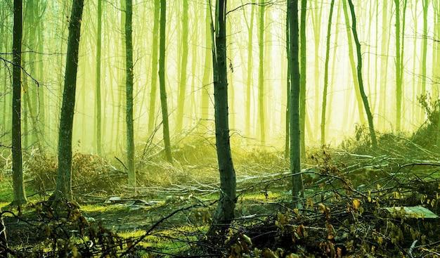 Wiosenny las w porannej mgle