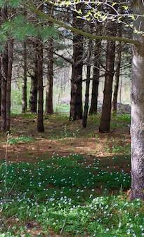 Wiosenny las z kwitnącymi białymi kwiatami anemonów
