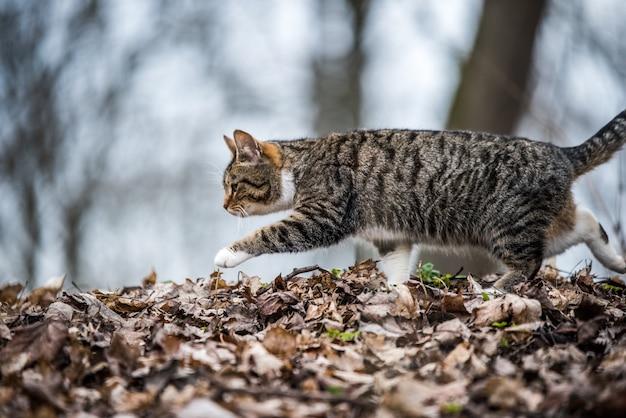 Wiosenny marcowy pręgowany kot idzie lub chodzi po suchych liściach. życie na łonie natury.