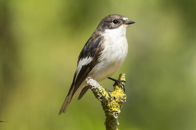 Wiosenny migrant muchołówka żałobna