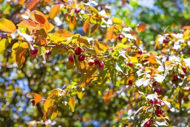 Wiosenny ogród w słoneczny dzień. gałązki śliwki wiśniowej z młodymi czerwonymi owocami.
