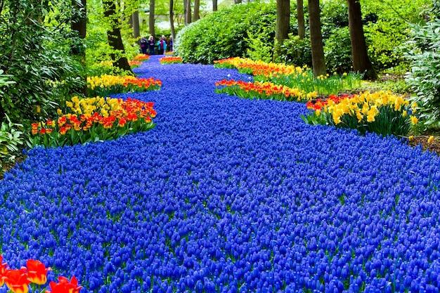 Wiosenny rozkwit w parku keukenhof w rejonie amsterdamu