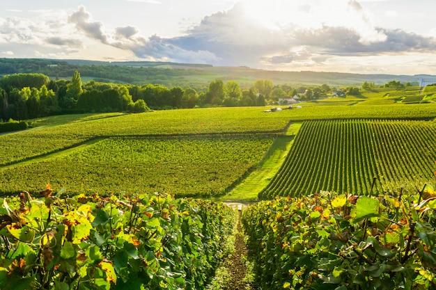 Wiosłuje winogradu winogrona w szampańskich winnicach przy montagne de reims wsi wioski tłem, reims, francja