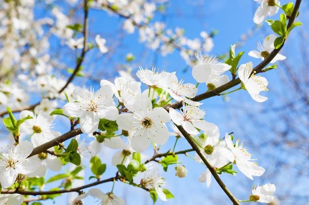 Wiosna biały kwiat przeciw błękitne niebo