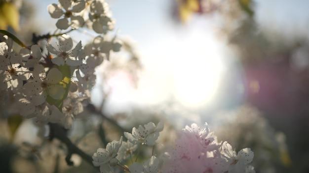 Wiosna biały kwiat wiśni, kalifornia, usa, balboa park. delikatne, delikatne kwiaty sakury z gruszki, jabłka lub moreli. wiosenna świeża romantyczna atmosfera, czysty botaniczny kwiat soft focus bokeh