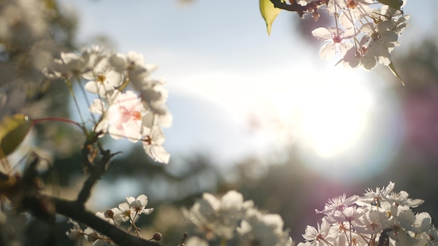 Wiosna biały kwiat wiśni, kalifornia, usa. delikatne, delikatne kwiaty sakura gruszki, jabłka lub moreli. wiosenna świeża romantyczna atmosfera, czysty botaniczny rozkwit, miękki bokeh.