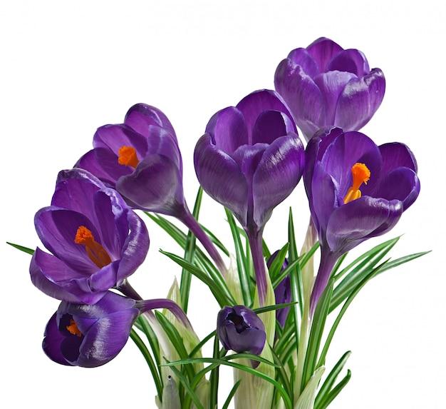 Wiosna bukiet purpurowi krokusy odizolowywający