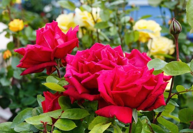 Wiosna Czerwona Róża Zbliżenie Kwiatów W Parku. Premium Zdjęcia