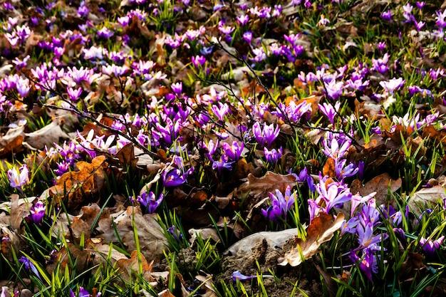 Wiosna dywan szafranu i trawy w parku. piękne kwiaty natury dla inspiracji. wersja tilt-shift