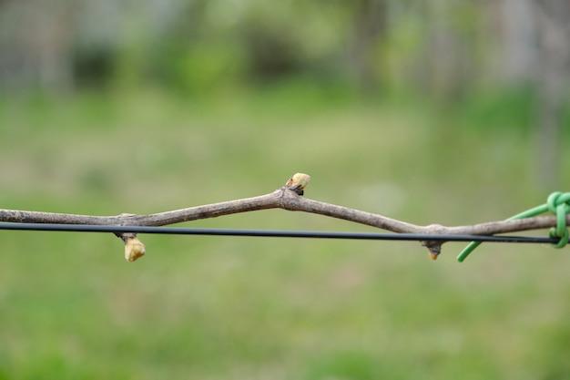 Wiosna gałąź winogron z pąkami na drucie
