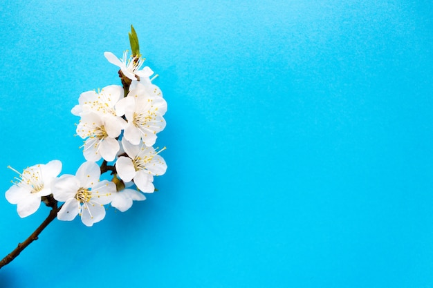 Wiosna, gałązka kwiatu wiśni