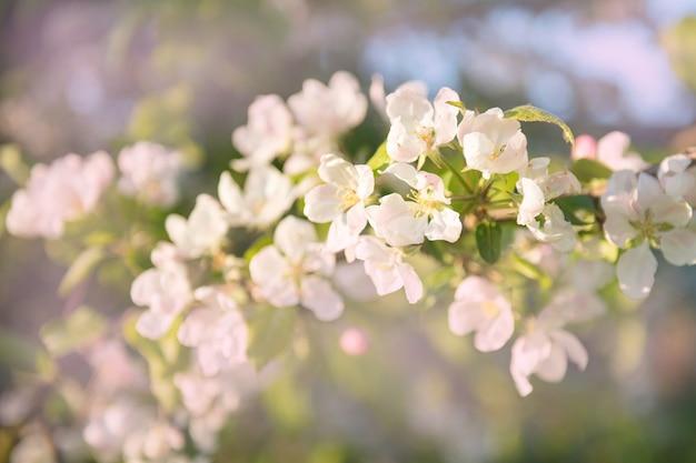 Wiosna jasnobiały kwiat jabłoni oświetlony jasnym promieniem wiosny i błękitnym niebem