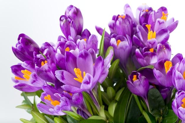 Wiosna krokus kwiaty na jasnym tle (zbliżenie)