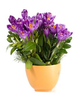 Wiosna krokus kwiaty w filiżance na białym tle na białej powierzchni.