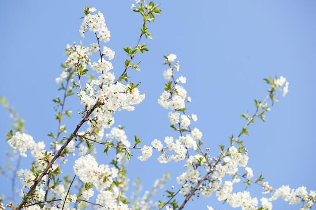 Wiosna kwiat błękitne niebo białe kwiaty w piękny wiosenny dzień. piękny kwiat wiśni sakura w okresie wiosennym nad błękitne niebo. pięknie kwitnąca gałąź jabłoni. święta wielkanocne. sezon dla alergików