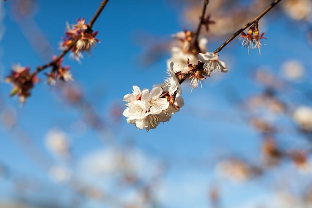 Wiosna kwiat jabłoni minimalistyczny na błękitnym niebie