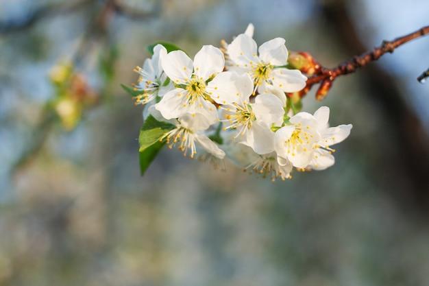 Wiosna kwiat wiśni z miękkim tłem, naturalny kwiatowy sezonowe tło