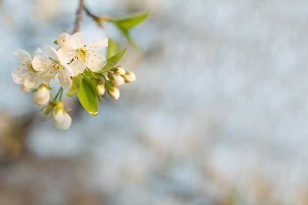 Wiosna kwiat wiśni z miękkim tłem.