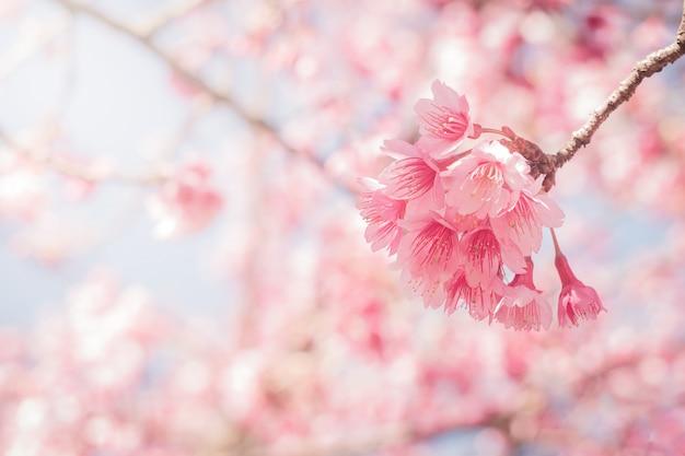 Wiosna kwiaty wiśni w pełnym rozkwicie