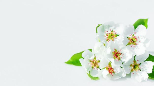 Wiosna kwitnące drzewo gruszy. drzewo w białych barwach i nastroju odnowy i przebudzenia.