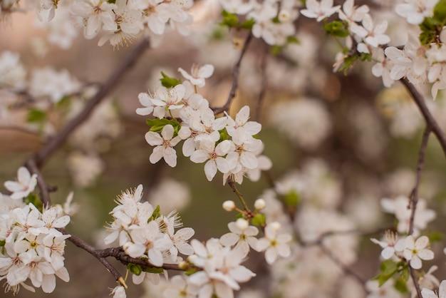 Wiosną kwitnące drzewo z kwiatami
