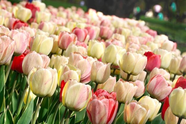 Wiosna kwitnący biały różowy i czerwony tulipan
