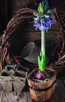Wiosna kwitnący hiacynt