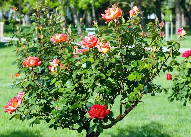 Wiosna kwitnący krzew czerwonych kwiatów róży w parku miejskim.