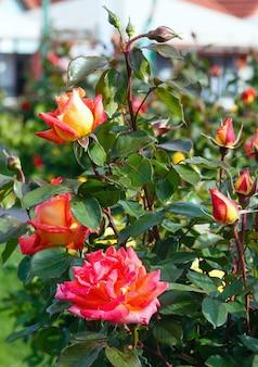 Wiosna kwitnący krzew czerwonych kwiatów róży zbliżenie