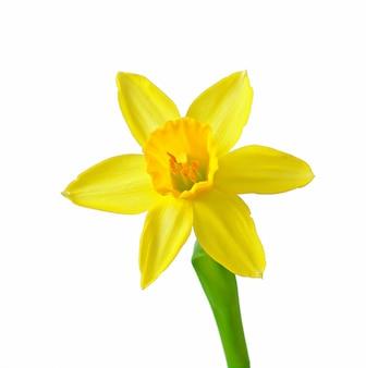 Wiosna kwitnie narcyz odizolowywającego na bielu