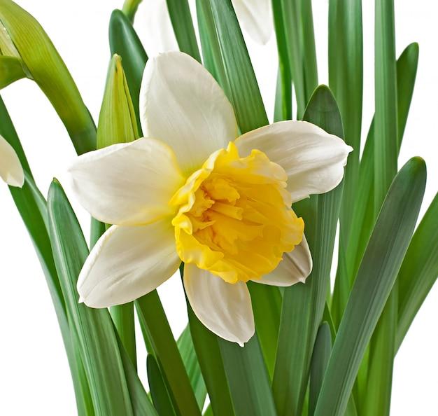 Wiosna kwitnie narcyz odizolowywającego.