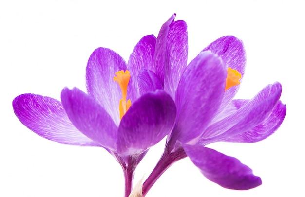 Wiosna kwitnie purpurowych krokusy odizolowywających