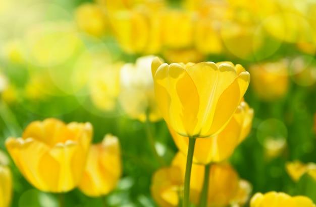 Wiosna łąka z jaskrawymi kolorowymi tulipanowymi kwiatami z selekcyjną ostrością.
