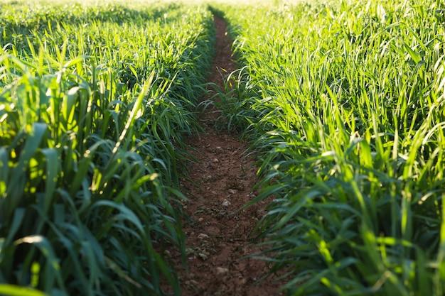 Wiosna lub lato zielona trawa w tle światła słonecznego