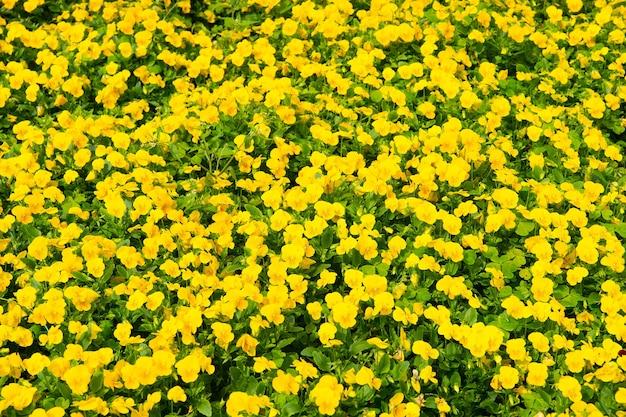 Wiosna lub lato. żółte bratki z zielonymi liśćmi w hamilton na bermudach. kwiaty bratka kwitną wiosną lub latem. kwiaty kwitnące wiosną lub latem w ogrodzie. kwiaciarnia. sezon letni i wiosenny.