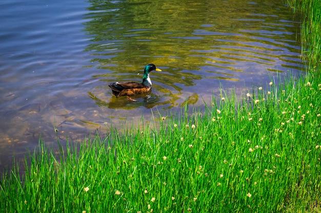 Wiosna na zewnątrz - kaczka na czystym jeziorze w parku miejskim