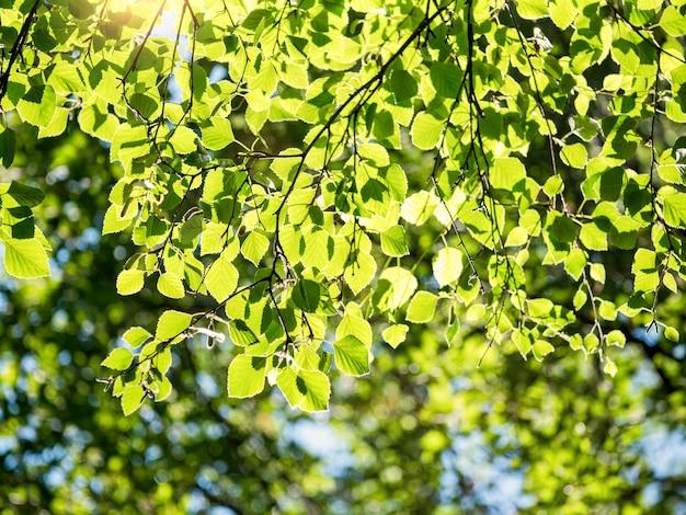 Wiosna natura tło z liści brzozy w słoneczny dzień