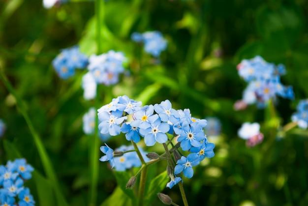 Wiosną niebieskie kwiaty niezapominajki, idealne tło wiosny