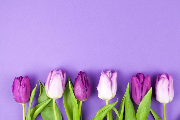 Wiosna piękny tulipan ułożone w rzędzie ponad fioletowy powierzchni