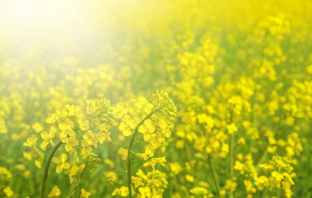 Wiosna pole świeży gwałt.