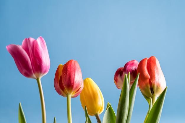 Wiosna tulipan kwitnie bukiet nad błękitnym jaskrawym koloru tłem