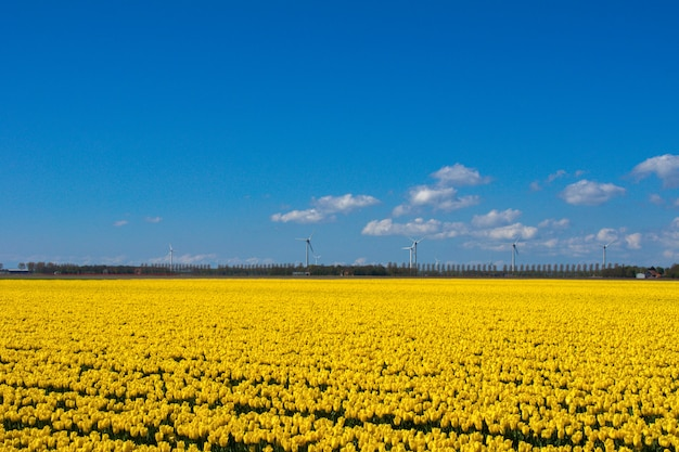Wiosna tulipan pola w holandii, kolorowi kwiaty w holandiach