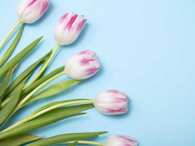 Wiosna tulipany flatlay na niebieskim tle.