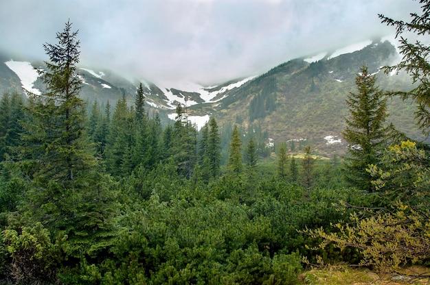 Wiosna w karpatach. piękny wiosenny krajobraz z lasem świerkowym na pierwszym planie i górami pokrytymi chmurami w tle. góry dymią.