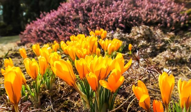 Wiosna w moim ogrodzie kwitnące żółte krokusy w słoneczny dzień