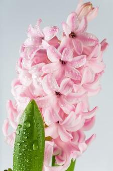 Wiosna wakacje hiacynt różowy kwiaty na jasnym tle. (makro)