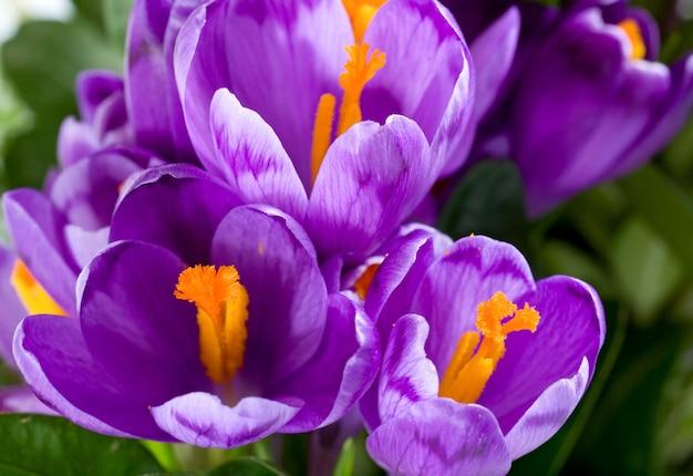 Wiosna wakacje krokus kwiaty tło (makro)