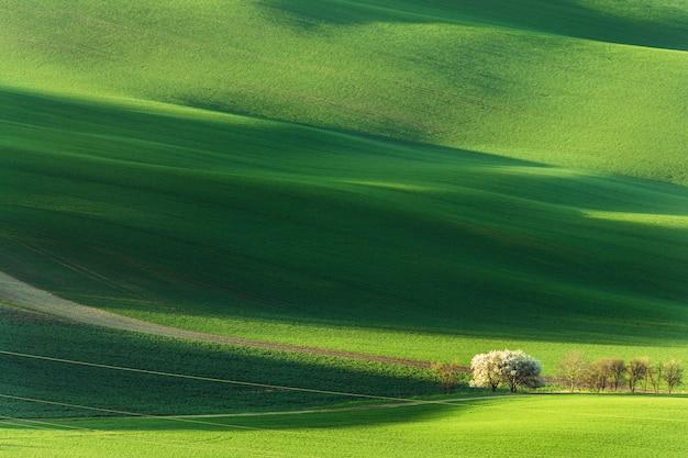 Wiosna wiejski krajobraz z kwitnących kwitnących drzew na zielonych falistych wzgórzach.